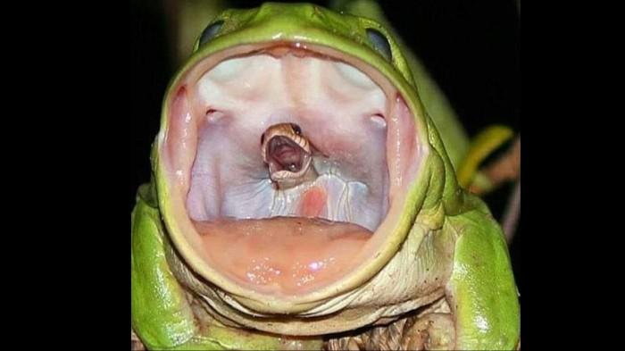 뱀 한입에 삼킨 '최강' 개구리