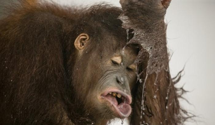 인니서 고문 후 참수된 채 발견된 멸종위기 오랑우탄