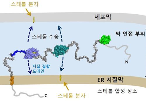 전남대 임영준 교수 연구팀,콜레스테롤 세포내 이동 기전 규명